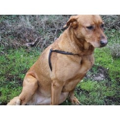 Harnais pour chien cuir chic dog DMH Equitation